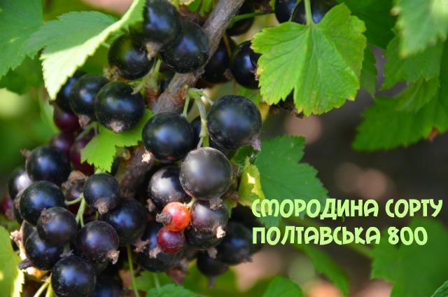 Полтавська