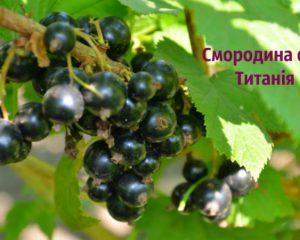 titaniya1